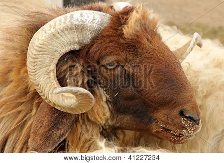 Closeup of awassi sheep