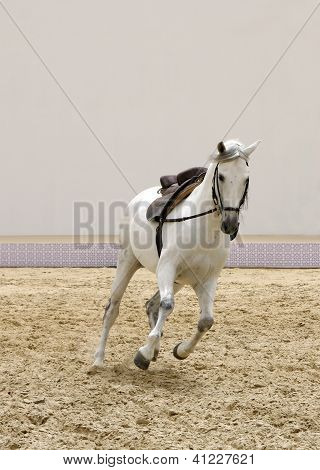 A stallion playing on sand