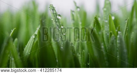 Lush Juicy Green Grass In The Meadow With Water Dew Drops. Macro Close-up, Panorama. A Beautiful Art