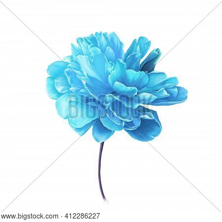 Single Bright Blue Peony Flower. Isolated Color Pencil Drawing Flower Head On White Background. Orna