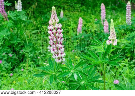 Close Up Of Pink Flowers Of Lupinus, Commonly Known As Lupin Or Lupine, In Full Bloom And Green Gras