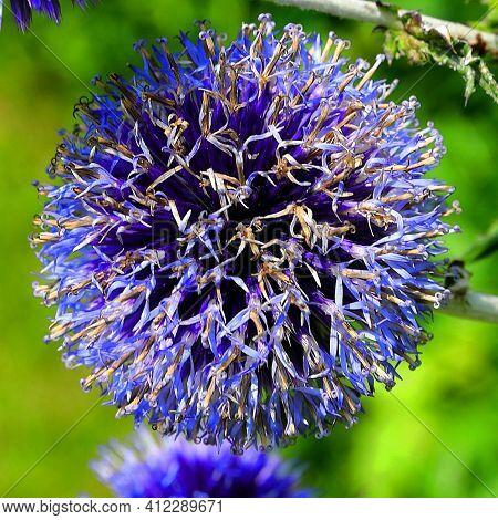 Kwiat Przegorzanu Zakwitaj