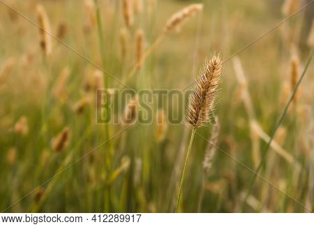 Golden Reed In The Field. Dry Or Pampas Grass. Natural Background With Selective Soft Focus.