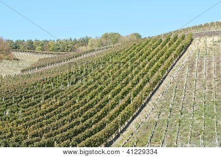 Wine Field