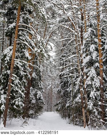 Walking Path In A Pine Winter Forest