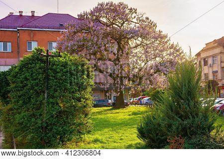Uzhhorod, Ukraine - 01 May 2018: Paulownia Tree In The Town Center. Big Blossoming Tree On The Squar