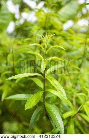 Aloysia Citrodora - Lemon Verbena Aromatic Foliage