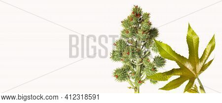 The Castor Bean Or Higuerilla Is A Shrub With A Large And Woody Stem - Ricinus Communis