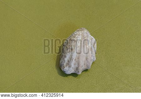 Fossilized Bivalve Shell From Cretaceous Sandstones, Crimea, Ukraine.
