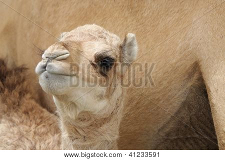 A beautiful camel calf