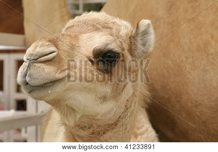 closeup of beautiful camel calf