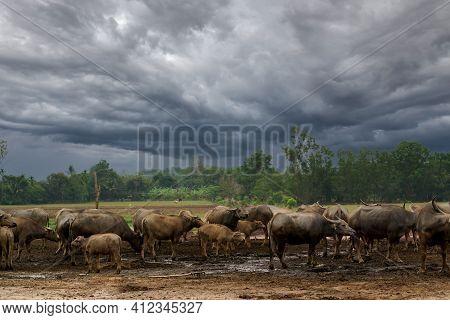 Buffalo Farm In Thailand Raising Buffalo In Nature