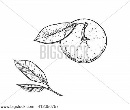 Hand Drawn Sketch Black And White Of Mandarin, Tangerine Fruit, Leaf. Vector Illustration. Elements