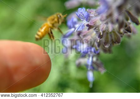 Person Finger Touching Honey Bee Pollinating Flowers Of Lilac Close-up. Purple Flowers And Bee Colle