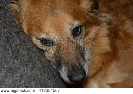 Portrait Of Mixed Breed Golden Brown Dog Resting In Chair And Looking At Camera