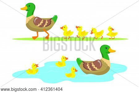 Duck And Ducklings Set. Cute Mother Duck And Yellow Babies Birds Walking On Grass And Swimming In Po