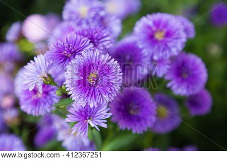 Italian Asters Flower. Flower In Garden. Flower At Spring Day. Colorful Flower. Flower Decoration. F
