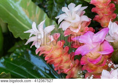 Siam Tulip Flower. Flower In Garden. Flower At Spring Day. Colorful Flower. Flower Decoration. Flowe