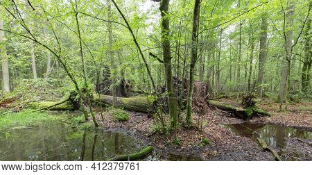 Natural Mixed Tree Stand In Summer