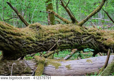 Dead Oaks Lying Moss Wrapped