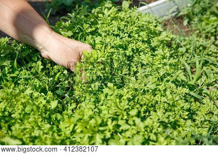 A Womans Hand Is Tearing Up Cress Greens. Collecting Fresh Herbs In The Garden. Concept Of Agricultu