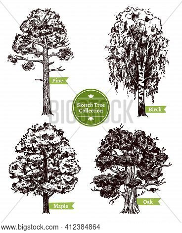 Four Various Deciduous Sketch Trees Set With Pine Maple Birch And Oak Isolated On White Background D