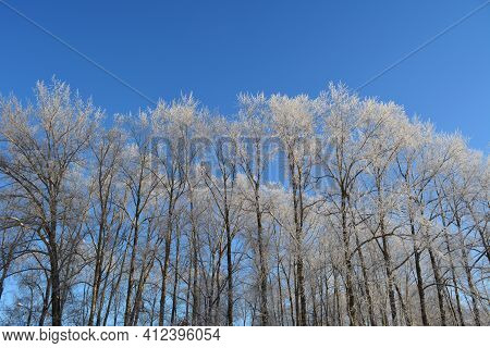 Winter Landscape. Trees In Hoarfrost On The Background Of Clear Blue Sky