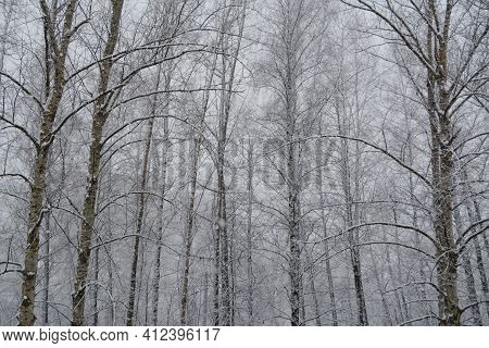 Snowfall In Winter Forest. Trees Covered By Snow On The Background Of Grey Sky