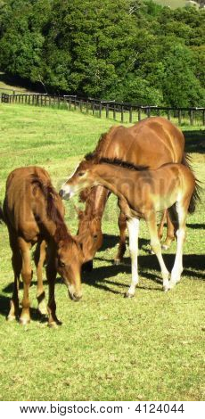 Young Brumbies At Mountainthyme Sanctuary.
