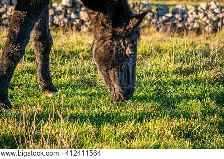 Blind Horse. Eye Cataract. One Horse Grazing On The Meadow In Sunny Day In Switzerland. Unhealthy An