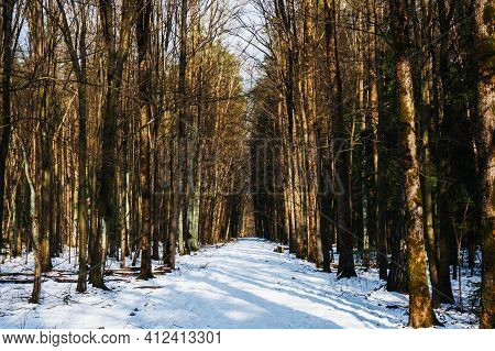 Winter Forest Landscape. Snow In Forest. Cold Winter Weather. Coniferous Forest Background. Sunlight