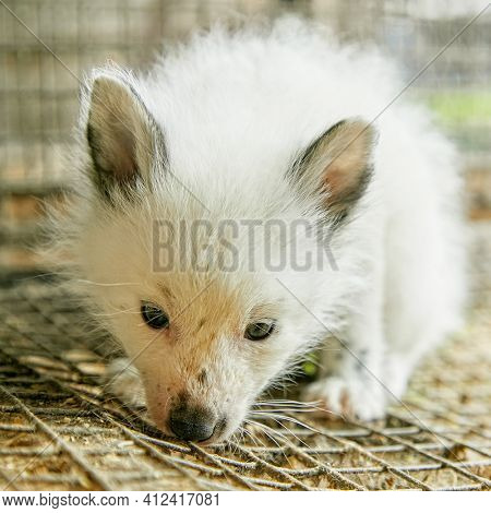 Curious young fox in a cage