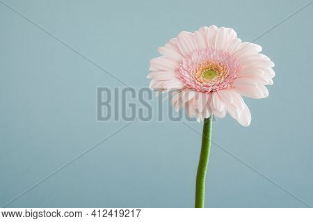 Pink Gerber Daisy Beautiful Daisy Flower With Background Garden Aroma Plant Decoration Bright Beauty