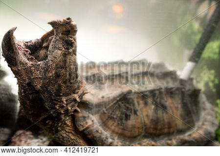 Alligator Snapping Turtle With Wide Open Mouth Underwater. Snapping Turtle In The Aquarium. Tyrarium