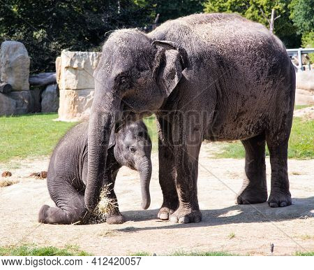 Elephant Mother And Her Calf In Zoo. Cute Baby Elephant With Mother. Zoo Big Animals.