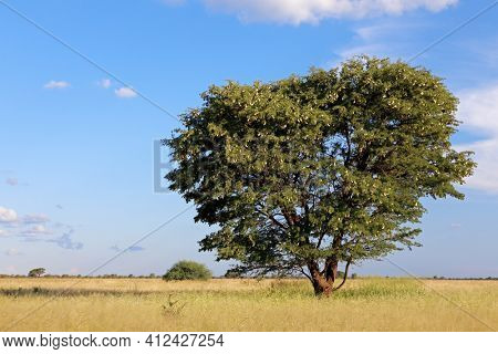 African camel-thorn tree (Vachellia erioloba) in grassland, South Africa