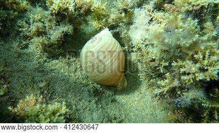 Marine Gastropod Mollusc Giant Tun (tonna Galea) Undersea, Aegean Sea, Greece, Halkidiki