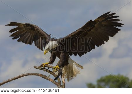 Impressive Bald Eagle On A Branch With It's Wings Spread