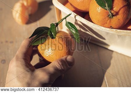 A Hand Holds A Fresh Orange Tangerine. Tangerine And Clementine Harvest. A Basket Full Of Tangerines