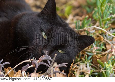 Close Up Of Beautiful Black Cat Relaxing In The Garden During Spring Day Of March