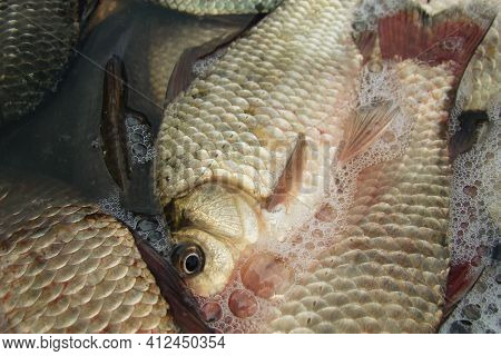 Crucian Carp Is A Commercial Fish Of The Carp Family Close Up