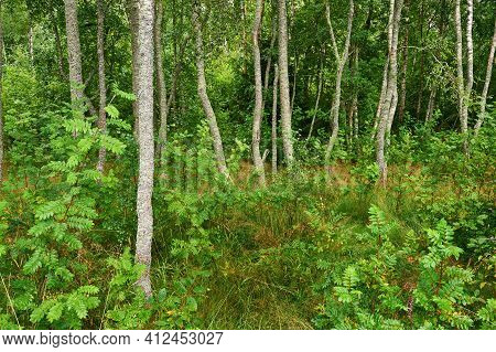 Beautiful Green Boreal Forest In Finland, Photographed In Summer.