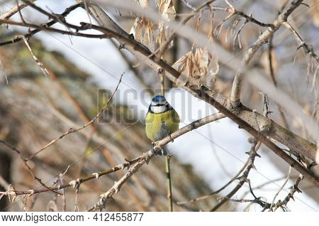 Bird During A Cold Winter. Ordinary Blue Tit.