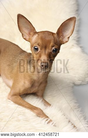 Portrait Of A Small Dog Of Breed Russian Toy Terrier