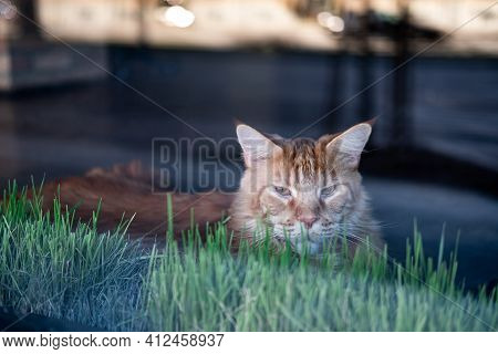 Maine Coon Cat Behind Cafe Window With Blurred Background. Large Red, Orange Cat With Green Grass At