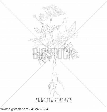 Hand Drawn Sketch Of Angelica Sinensis Or Dong Quai. Silhouette Of The Female Ginseng Herb Isolated