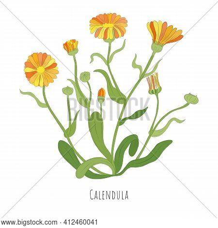 Hand Drawn Sketch Of Calendula Or Desert Marigold Herb With Color. Vibrant Calendula Plant Isolated