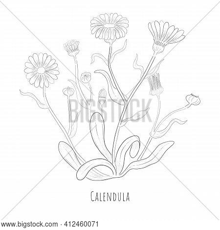 Hand Drawn Sketch Of Calendula Or Desert Marigold Herb. Silhouette Of A Calendula Plant Isolated On