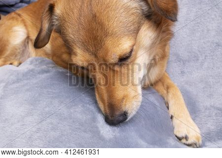 Ginger Dog Sniffing On A Gray Background Close Up