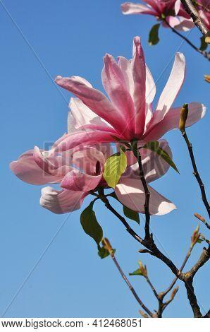 Pink Magnolia Flowers In A Spring Park. Magnolia Susan. Flower Background